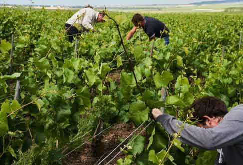 Hand-picking the fruit from the family vineyards.