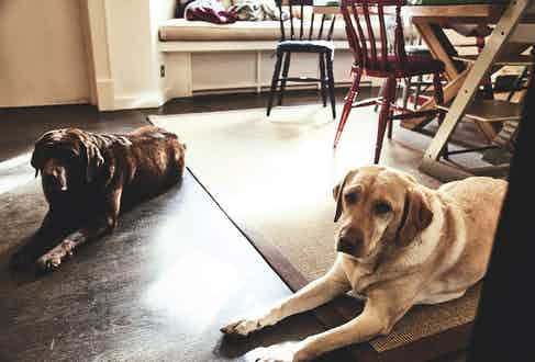 George's Labradors are arguably two of his finest accessories.