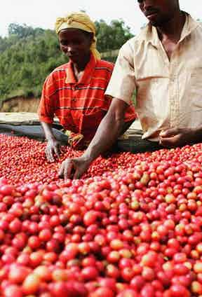Farmers from Kibingo in Burundi selecting coffee cherries.