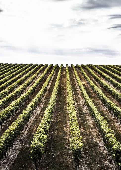 Rows of Ugni blanc vines waiting to be harvested.