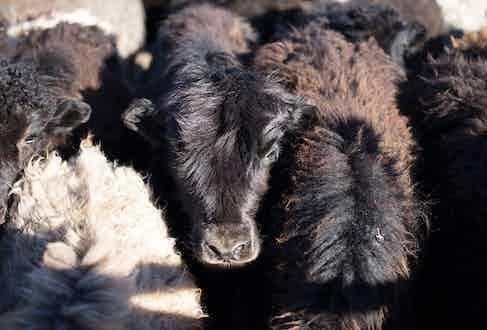 The Khangai mountain yak
