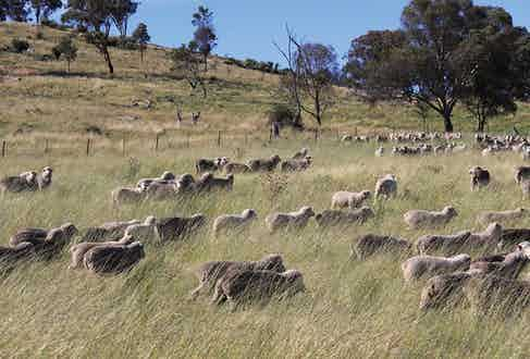 The sheep farm in Australia from which Vitale Barberis Canonico source their cloth