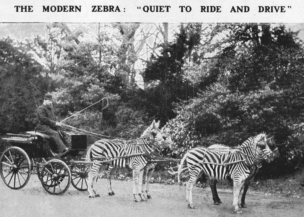 Rothschild in a carriage drawn by three zebras and a pony, which would be paraded outside Buckingham Palace (Photo by Historia/Shutterstock (9809658a)